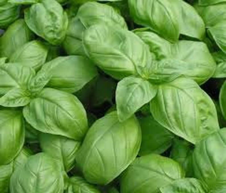 Basil Genovese | Mosquito Repellent Plants