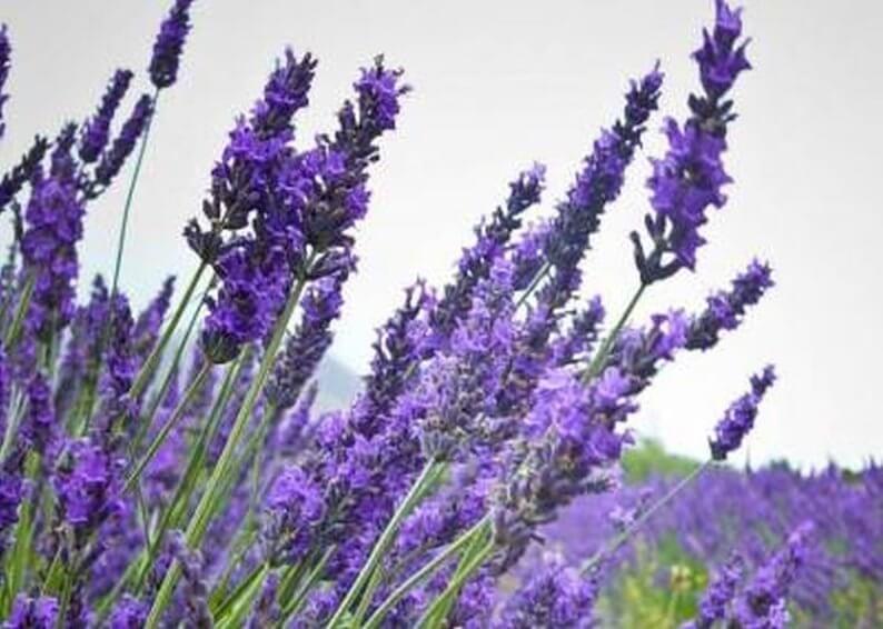 Lavendar | Mosquito Repellent Plants