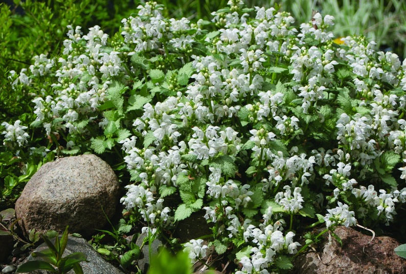 White Nancy Lamium Ground Cover
