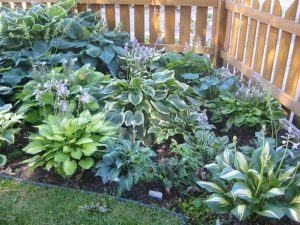 Types of Hostas